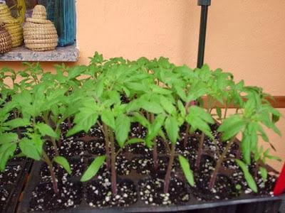 Semilleros i cultivo de tomates y pimientos paperblog - Cuando plantar tomates ...