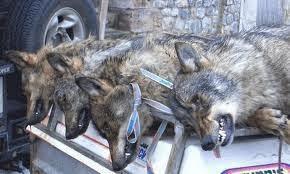 Carta blanca para matar lobos en Picos de Europa