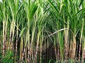 Sabias puede fabricar Etanol Usar Maíz otros cultivos