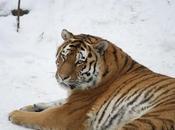 últimos tigres siberianos