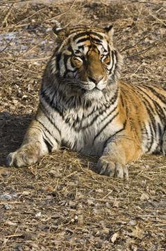Los últimos tigres siberianos