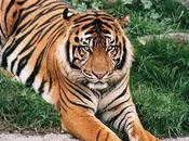 Posible supervivencia libertad Tigre Amoy