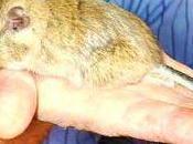 Conoce kirchnerorum, nuevo roedor patagónico