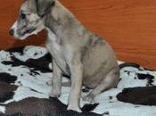preciosos cachorros galgo, están adopción. (badajoz)
