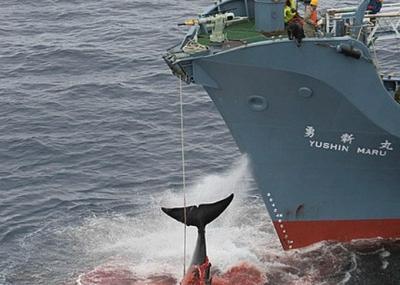 La caza de ballenas con firma nipona: Antártico, no. Pacífico, sí.