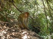 Macaco berbería mono Atlas. Valle Bouguemez (Marruecos)