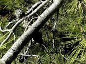 ramas pino filtran bacterias agua contaminada
