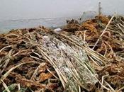 Sopa hojas rábano seco, bolas pequeñas patatas excrementos animales