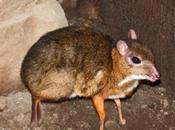 Tragulus Javanicus, mitad ciervo-mitad ratón, nace España.