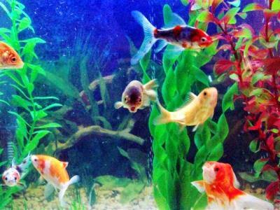Montar negocio crianza pesces ornamentales paperblog for Cria de peces en casa