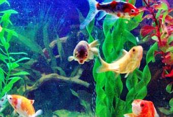 Montar negocio crianza pesces ornamentales paperblog for Cria de peces ornamentales