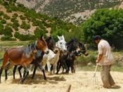 trilla mulas. Valle Bouguemez (Marruecos)