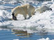 osos polares evolucionaron para comer comida basura
