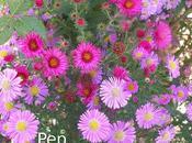 Asters otras perennes otoñales rosales (II)