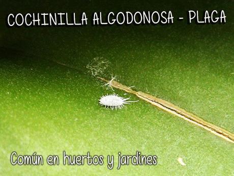 Insectos impostores en el huerto paperblog for Eliminar cochinilla algodonosa