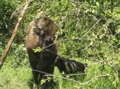 Nació primer bisonte europeo después 10.000 años