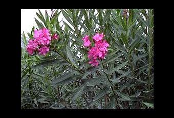 Plantas t xicas y venenosas en jardiner a paperblog - Plantas venenosas de interior ...