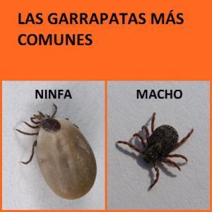 Quieres eliminar para siempre las garrapatas de tu - Matar pulgas en casa ...