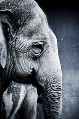 La mente de un elefante asesino
