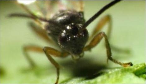 La reproducción de la avispa parásita
