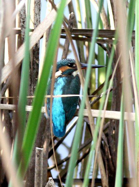 MARTIN PESCADOR-ALCEDO ATTHIS-COMMON KINGFISHER
