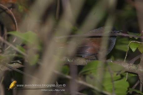 Pijuí negruzco (Gray-bellied Spinetail) Synallaxis cinerascens