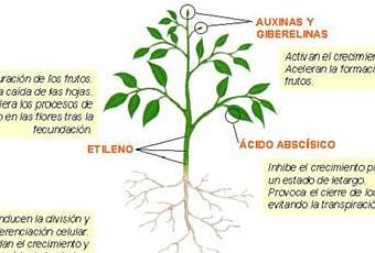 Fitohormonas paperblog for Hormonas en las plantas