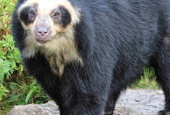 El oso de anteojos - Paperblog