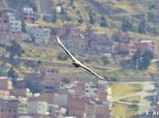 Primeros registros Águila Mora (Geranoaetus melanoleucus) para ciudades Alto (Bolivia) breve descripción estrategia cacería. Richard Contreras