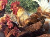 Monografías alumnos Conformación genetica pollo Campero INTA