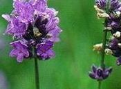 Lavanda aleja insectos excelente para combatir hongos antibacterial