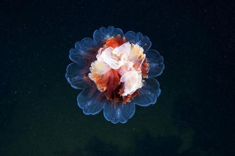 Jellyfish by Alexander Semenov