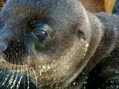 Increíble nacimiento león marino capturado vídeo
