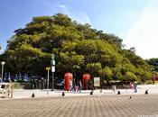 Gomero Recoleta Rubber Tree
