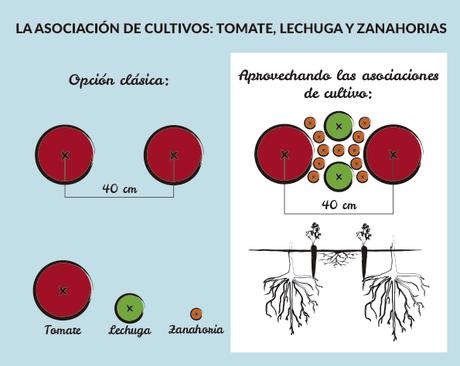 Asociaciones de cultivo la zanahoria paperblog Asociaciones de cultivos favorables