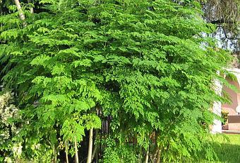 """Moringa a """"Árvore Milagrosa"""""""