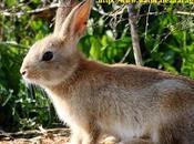 Conejo Oryctolagus cuniculus Aragón