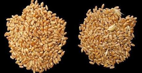 El trigo apto para celíacos sigue su curso: Fase ensayo clínico