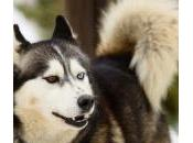 Pros contras tener Husky Siberiano
