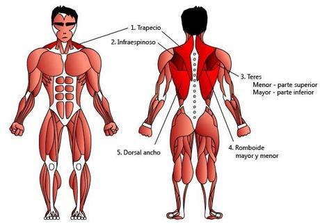 Los músculos de la espalda - Paperblog