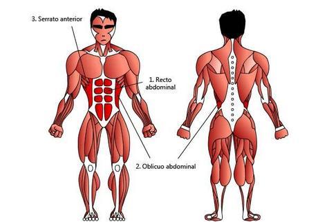 Los músculos abdominales - Paperblog