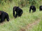 Jonathan Webb Asesinato 'viene naturalmente chimpancés reportero Ciencia