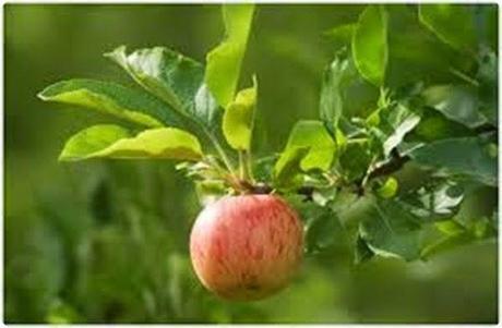 fiesta-manzana-8