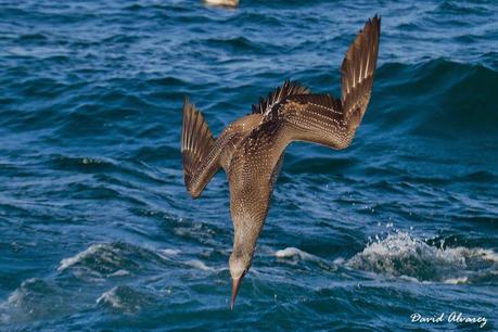 Salida pelágica en el Cantábrico: Entre gaviotas de Sabine, págalos y pardelas