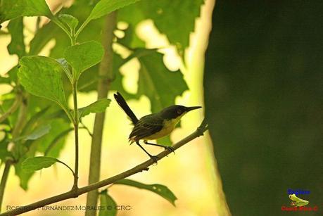 Frog's Heaven -Aves-  -Horquetas de Sarapiquí, Heredia-