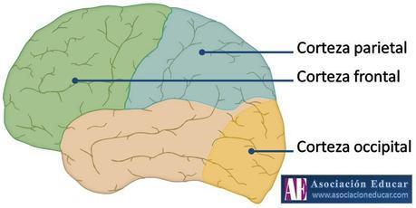 frontal-parietal-occipital
