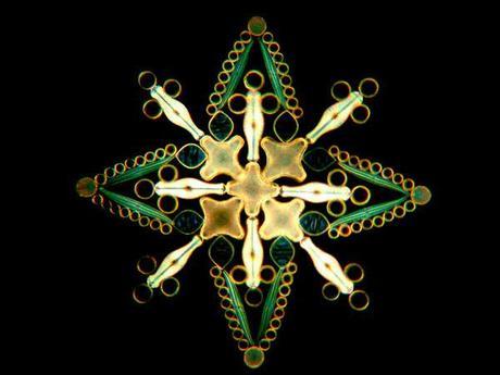 Arreglo de diatomeas de Klaus Kemp