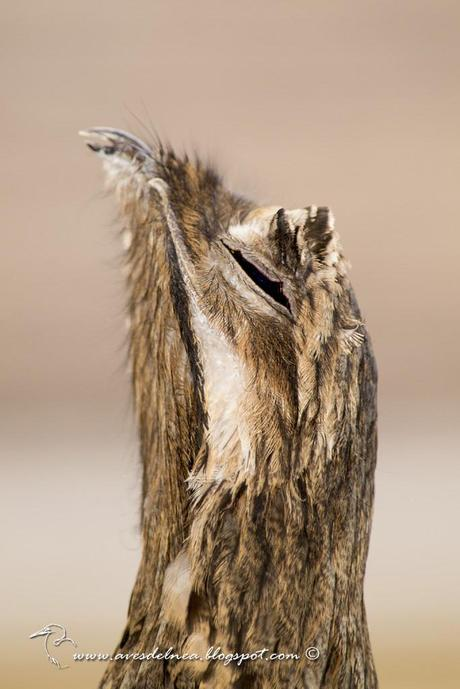 Urutaú común (Common potoo) Nyctibius griseus