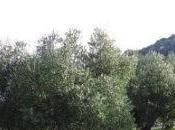 Olivar ecológico sufre duro golpe
