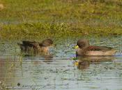 Pato barcino (Yellow-billed Teal) Anas flavirostris